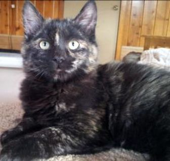 Domestic Shorthair/Domestic Shorthair Mix Cat for adoption in Mountain Center, California - Briar Rose
