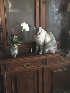 Siamese/Domestic Shorthair Mix Cat for adoption in Waco, Texas - Angel - in Foster Care, please call