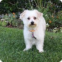 Adopt A Pet :: TEDDY - Newport Beach, CA