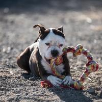 American Pit Bull Terrier Mix Dog for adoption in Silver Springs, Nevada - Jennie