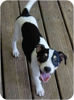 Rat Terrier Mix Puppy for adoption in Carrollton, Texas - Ray-Ray