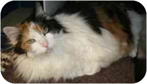 Domestic Longhair Cat for adoption in Vineland, New Jersey - Newkie