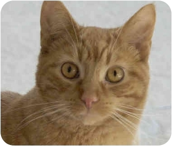 Domestic Shorthair Cat for adoption in Amelia, Ohio - Red