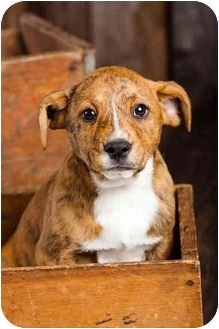 Australian Cattle Dog/Boxer Mix Puppy for adoption in Portland, Oregon - Baby River