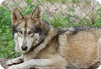 Siberian Husky Mix Dog for adoption in Orlando, Florida - Wolfdog - Sky