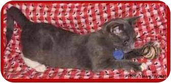 Domestic Shorthair Kitten for adoption in Orlando, Florida - Graham