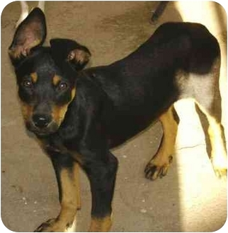 Shepherd (Unknown Type)/Doberman Pinscher Mix Puppy for adoption in Poway, California - WILMA