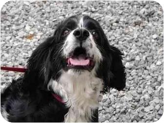 Cocker Spaniel Mix Dog for adoption in Windham, New Hampshire - Jake
