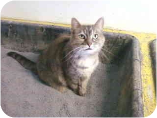Calico Cat for adoption in Bay City, Michigan - Luna~~adopted 1/2012~~