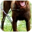 Photo 2 - Labrador Retriever Dog for adoption in Pawling, New York - HERSHEY