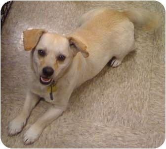 Beagle/Terrier (Unknown Type, Small) Mix Dog for adoption in Fowler, California - Duke