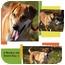 Photo 4 - Labrador Retriever/Shiba Inu Mix Dog for adoption in Sarasota, Florida - Ranger