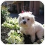 Photo 1 - Maltese/Shih Tzu Mix Dog for adoption in New Milford, Connecticut - Lolee