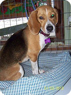 Beagle Dog for adoption in Hayden, Idaho - Sasha
