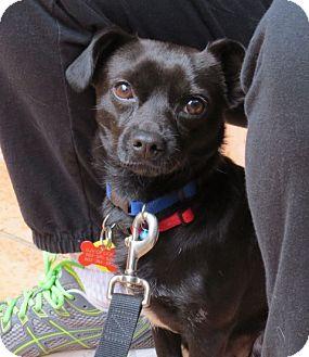Miniature Pinscher/Chihuahua Mix Dog for adoption in Scottsdale, Arizona - Harley