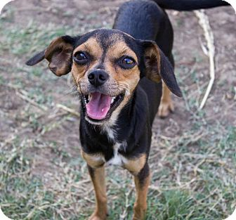 Chihuahua/Dachshund Mix Dog for adoption in Pilot Point, Texas - DARLA