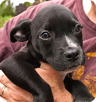 Chihuahua/Pit Bull Terrier Mix Puppy for adoption in Mechanicsburg, Pennsylvania - Sleepy