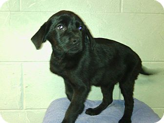 Dachshund/Labrador Retriever Mix Puppy for adoption in River Falls, Wisconsin - Winchester