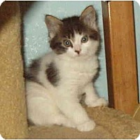 Adopt A Pet :: Woogie Boogie - Keizer, OR