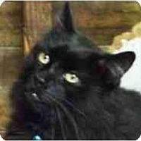 Adopt A Pet :: Ramses - Pasadena, CA