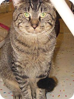 Domestic Shorthair Cat for adoption in Hillside, Illinois - Taz