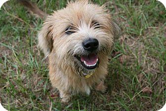 Shih Tzu/Dachshund Mix Dog for adoption in Lufkin, Texas - Chewy