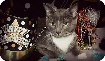 Domestic Shorthair Kitten for adoption in Gainesville, Florida - Misty