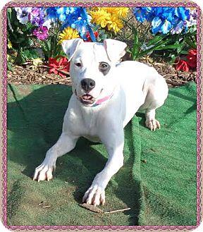 Boxer Mix Dog for adoption in Marietta, Georgia - BRAXTON (R)