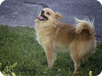 Pomeranian Dog for adoption in Glenpool, Oklahoma - Foxy