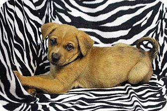 Shepherd (Unknown Type)/Retriever (Unknown Type) Mix Puppy for adoption in Westminster, Colorado - Elgin
