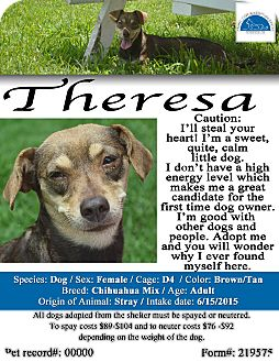 Terrier (Unknown Type, Small)/Chihuahua Mix Dog for adoption in Texarkana, Arkansas - Theresa