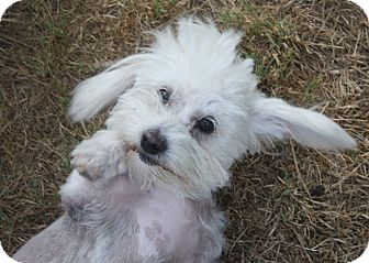 Maltese/Poodle (Miniature) Mix Dog for adoption in Henderson, Nevada - Sally