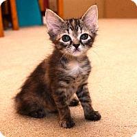 Adopt A Pet :: Tiny - Reston, VA