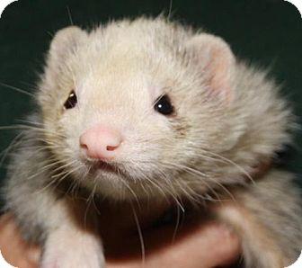 Ferret for adoption in Coconut Creek, Florida - Matt