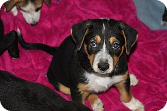 Australian Shepherd/Border Collie Mix Puppy for adoption in Von Ormy, Texas - Bernie