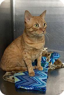 Domestic Shorthair Cat for adoption in Webster, Massachusetts - Sunshine
