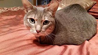 Domestic Shorthair Cat for adoption in Dallas, Texas - Newman
