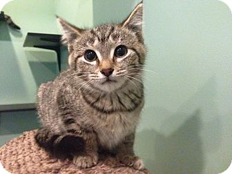 Domestic Shorthair Kitten for adoption in Royal Oak, Michigan - SALLY