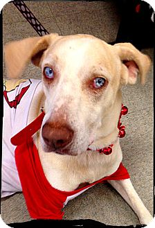 Catahoula Leopard Dog/Labrador Retriever Mix Dog for adoption in Austin, Texas - Boo