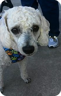 Miniature Poodle Mix Dog for adoption in Vancouver, British Columbia - Kringle