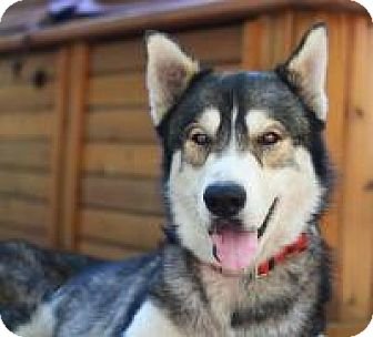 Husky Dog for adoption in New Smyrna Beach, Florida - Darby