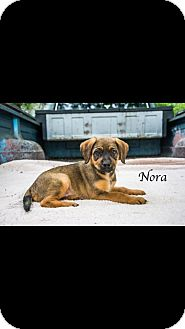 Shepherd (Unknown Type) Mix Puppy for adoption in West Hartford, Connecticut - Nora