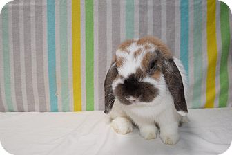 Lop-Eared Mix for adoption in Montclair, California - Katy