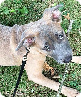 Weimaraner Mix Puppy for adoption in Albemarle, North Carolina - Nellie