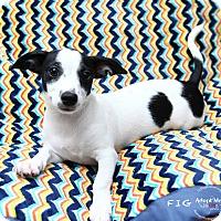 Adopt A Pet :: Fig - Shawnee Mission, KS