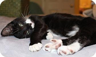 Domestic Shorthair Kitten for adoption in North Highlands, California - Benjamin