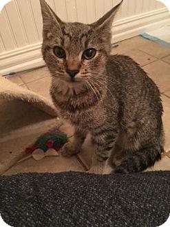 Domestic Shorthair Kitten for adoption in Bulverde, Texas - Dinah