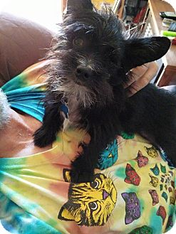 Terrier (Unknown Type, Small) Mix Dog for adoption in Salem, Oregon - Jack