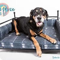 Adopt A Pet :: Diana Prince - Newport, KY