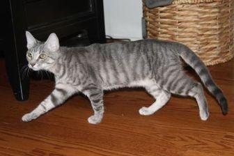 Domestic Shorthair/Domestic Shorthair Mix Cat for adoption in Greensboro, Georgia - Piper